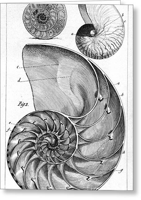 1750s Greeting Cards - Engraving Of A Nautilus And An Ammonite Greeting Card by Middle Temple Library