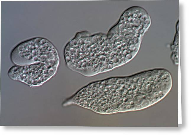 Entamoeba Histolytica Protozoa Greeting Card by Sinclair Stammers