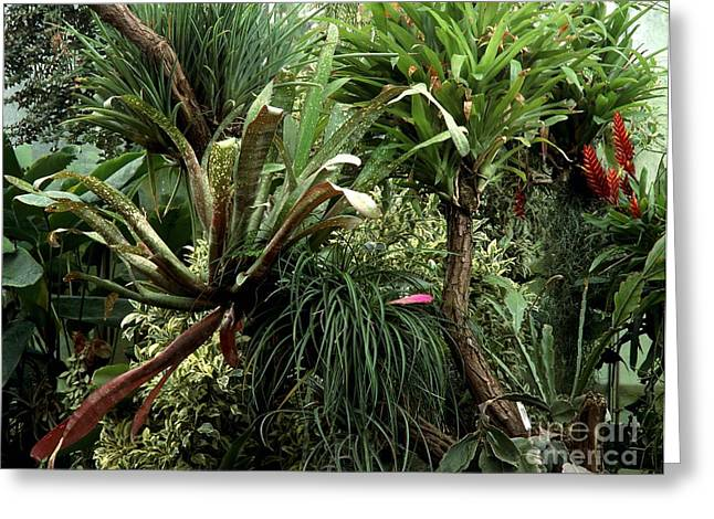 Epiphytic Greeting Cards - Epiphytic Bromelia Greeting Card by Vaughan Fleming