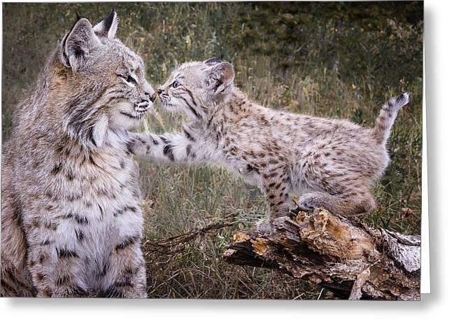 Bobcats Greeting Cards - Eskimo Kisses Greeting Card by Elaine Haberland