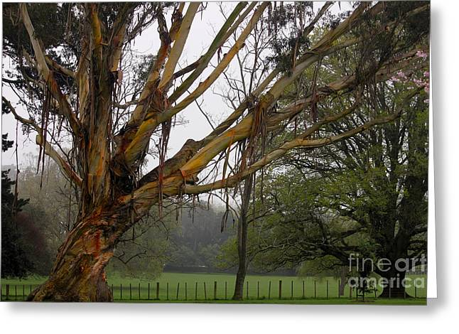 Maltings Greeting Cards - Eucalyptus Tree Greeting Card by Gee Lyon