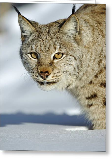 Eurasian Lynx In Snow Greeting Card by Willi Rolfes