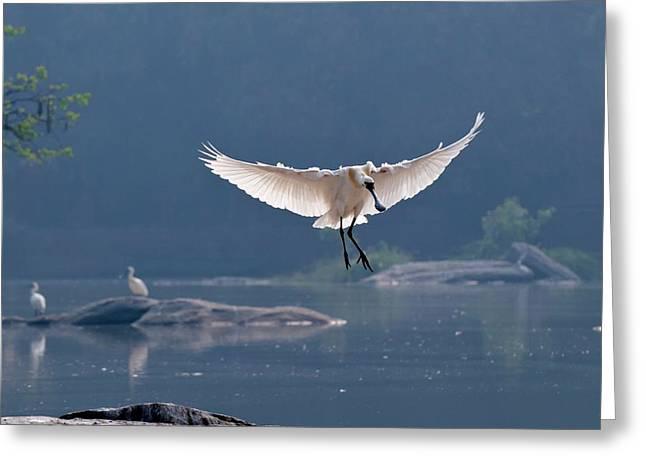 Eurasian Spoonbill Landing Greeting Card by K Jayaram