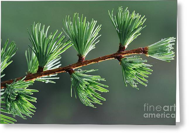 Dewdrops Greeting Cards - European Larch Needles Greeting Card by Colin Varndell