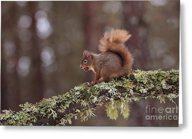 British Fauna Greeting Cards - European Red Squirrel Greeting Card by Thomas Hanahoe