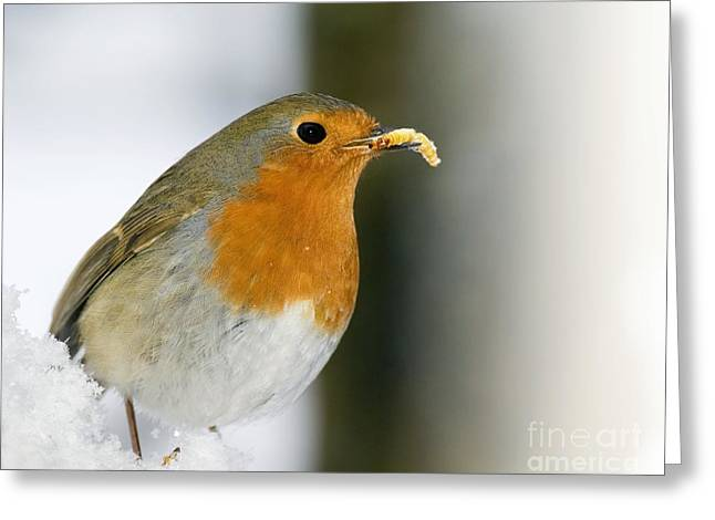Eating Entomology Greeting Cards - European Robin Feeding On A Mealworm Greeting Card by Duncan Shaw