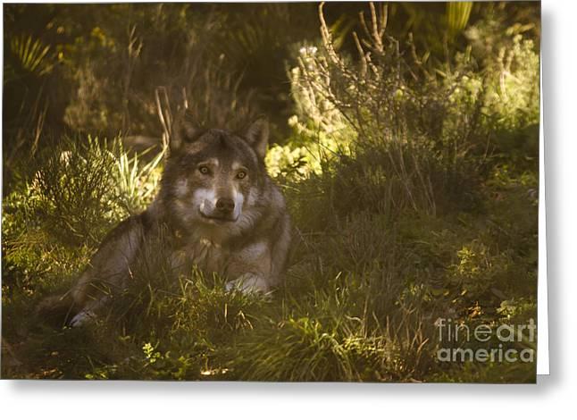 European Wolf Greeting Card by Angel  Tarantella