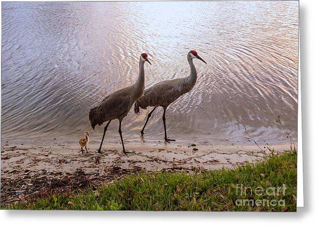 Sandhill Crane Greeting Cards - Evening at the lake Greeting Card by Zina Stromberg