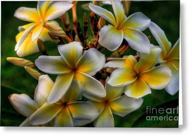 Tropical Photographs Greeting Cards - Evening Plumerias Greeting Card by Kelly Wade