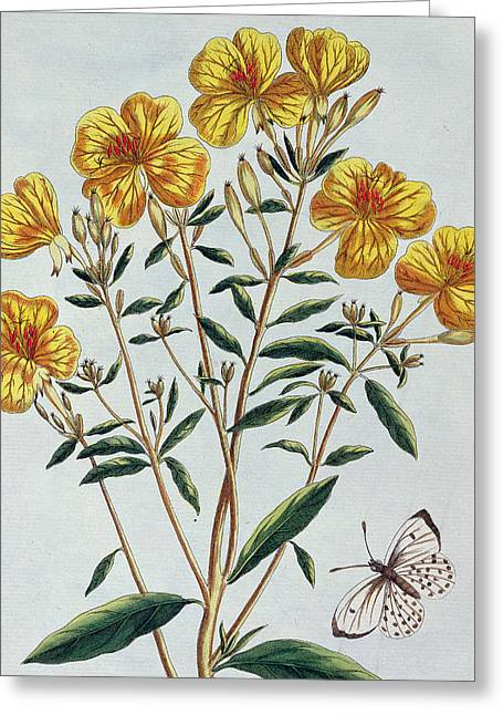 Butterfly Paintings Greeting Cards - Evening Primrose Greeting Card by Pierre Joseph Buchoz