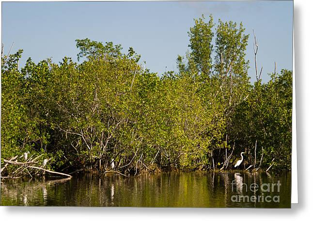 Mangrove Forest Greeting Cards - Everglades  Egrets Greeting Card by Tracy Knauer