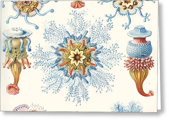 Examples Of Siphonophorae Greeting Card by Ernst Haeckel