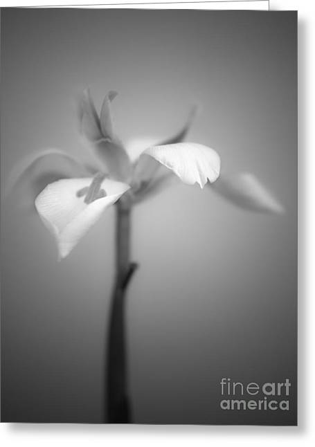Large White Flower Close Up Greeting Cards - Fairy Iris Greeting Card by Alexander Kunz