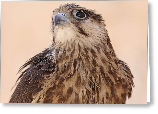Majestic Falcon Greeting Cards - Falcon Greeting Card by Paul Fell