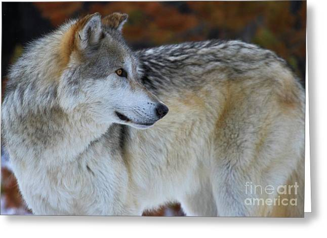 Alpha Wolf Greeting Cards - Fall Colors Greeting Card by Adam Jewell