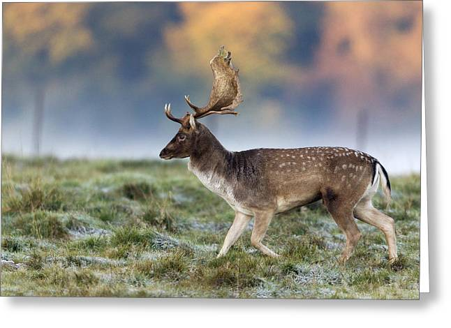 Dama Greeting Cards - Fallow Deer Buck During The Rut Greeting Card by Duncan Usher