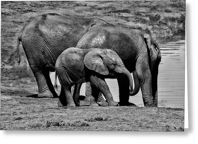 Elephant Drinking Greeting Cards - Family Watering Hole Greeting Card by Mountain Dreams