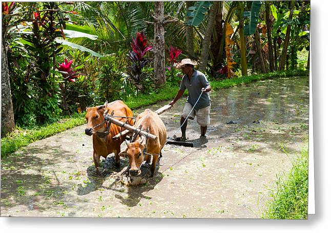 Farmers Field Greeting Cards - Farmer With Oxen Working In Paddy Greeting Card by Panoramic Images