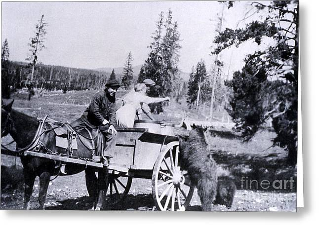 Horse And Cart Greeting Cards - Feeding Bear Yellowstone National Park Greeting Card by NPS Photo