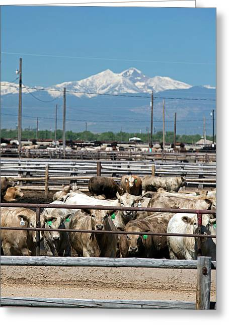 Feedlot Cattle Greeting Card by Jim West