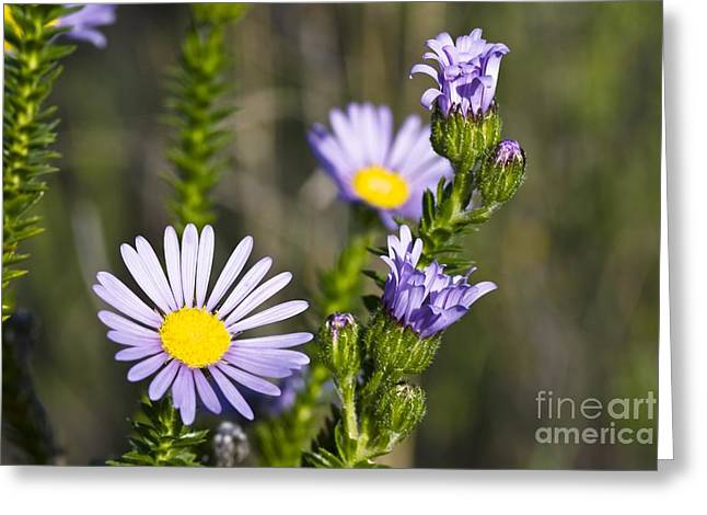 Felicia Felicia Echinata Flowers Greeting Card by Peter Chadwick