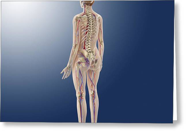 External Skeleton Greeting Cards - Female anatomy, artwork Greeting Card by Science Photo Library