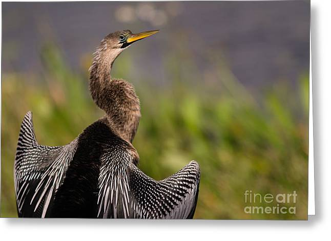 Anhinga Greeting Cards - Female Anhinga Greeting Card by Tracy Knauer