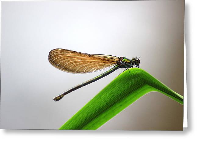 Demoiselles Greeting Cards - Female banded demoiselle Greeting Card by Turnip Towers