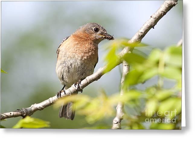 Feeding Birds Greeting Cards - Female Eastern Bluebird Eating a Spider Greeting Card by Brandon Alms