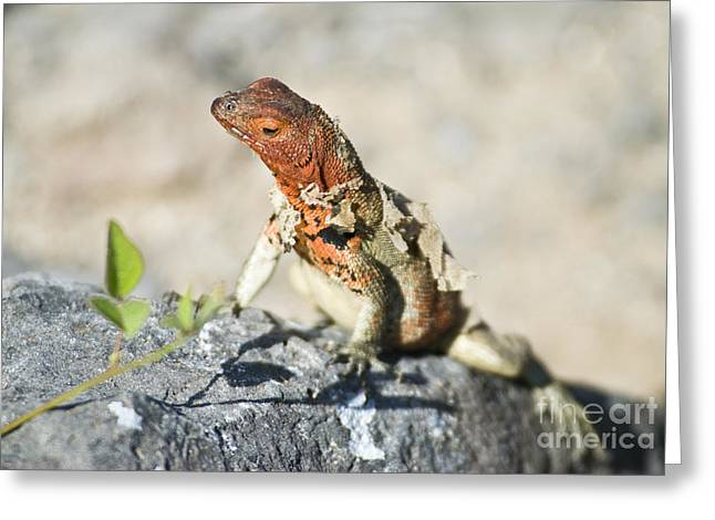 Galapagos Wildlife Greeting Cards - Female Lava Lizard Greeting Card by William H. Mullins
