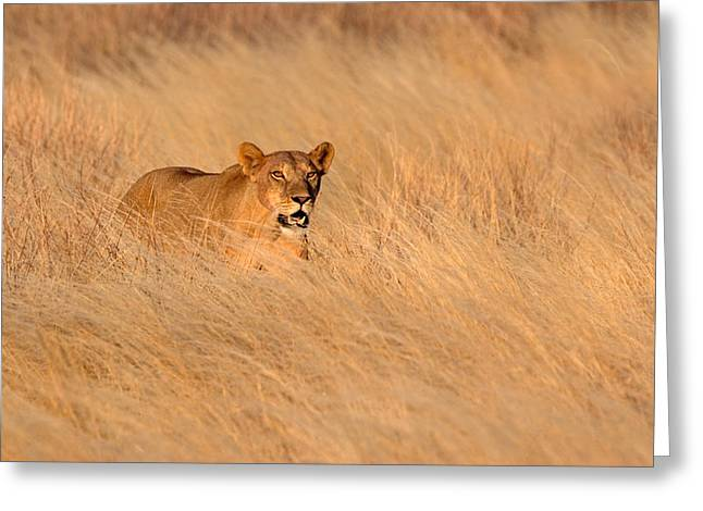 Panthera Leo Greeting Cards - Female Lion Panthera Leo Moving Greeting Card by Panoramic Images