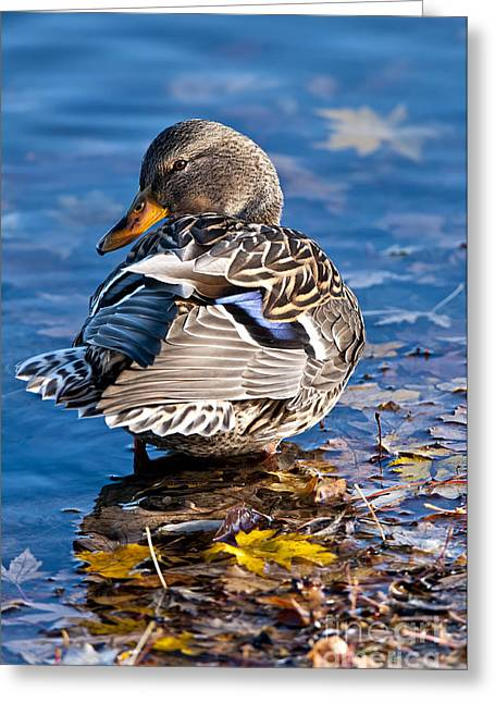 Animals Greeting Cards - Female Mallard Duck Greeting Card by Michael Cummings