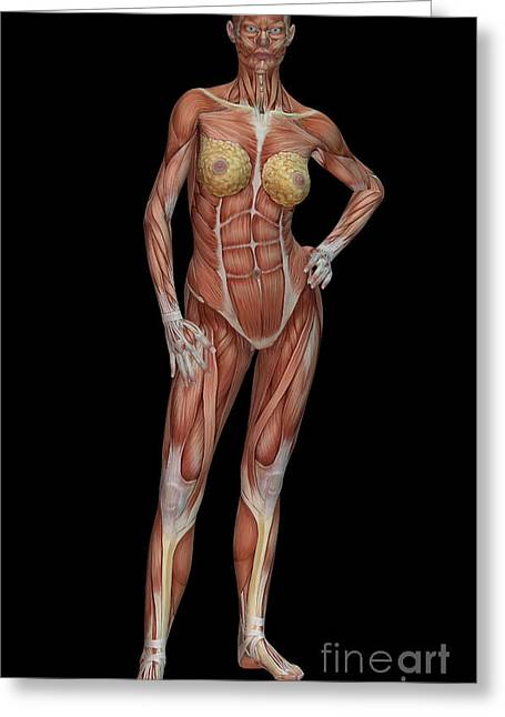 Female Body Greeting Cards - Female Muscle Anatomy Greeting Card by Scott Camazine