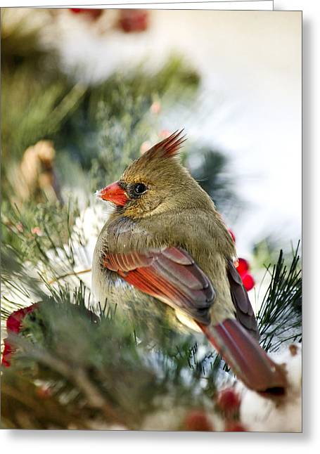 Cardinalis Greeting Cards - Female Northern Cardinal Greeting Card by Christina Rollo