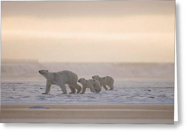 Foggy Day Greeting Cards - Female Polar Bear With A Pair Of Cubs Greeting Card by Steven Kazlowski