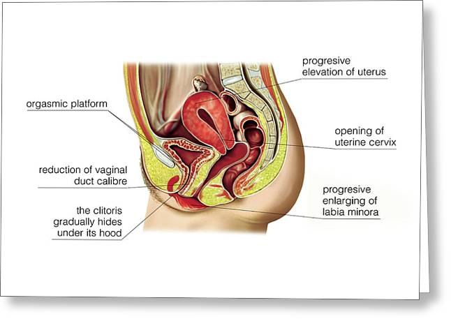 Female Sexual Response Greeting Card by Asklepios Medical Atlas
