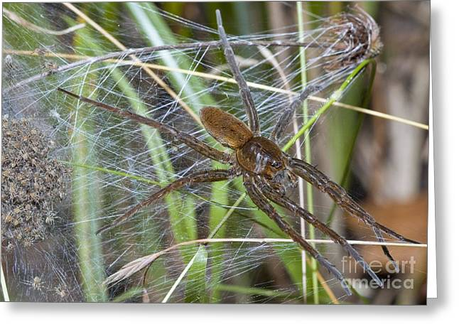 Fens Greeting Cards - Fen Raft Spider And Young Greeting Card by Martyn F. Chillmaid