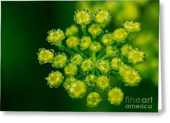 Commercial Photography Greeting Cards - Fennel Bloom Foeniculum vulgare Greeting Card by Iris Richardson