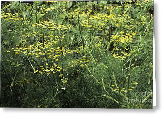 Aniseed Greeting Cards - Fennel Foeniculum Vulgare Greeting Card by Adrian Thomas