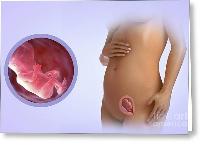 Pregnancy Greeting Cards - Fetal Development Week 13 Greeting Card by Science Picture Co