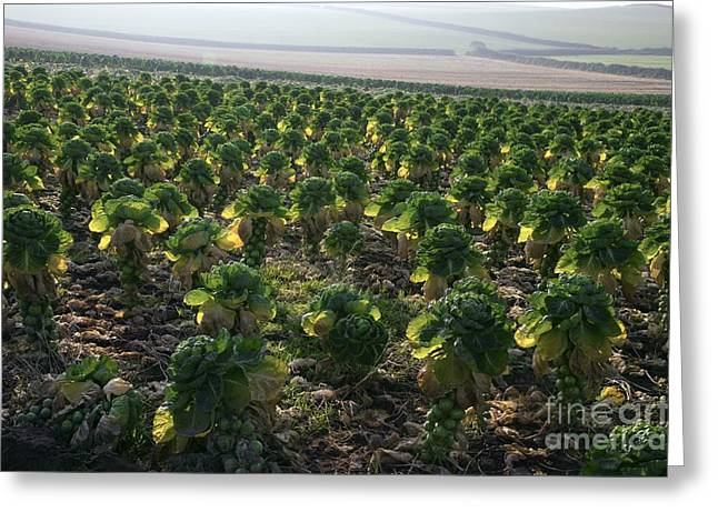 Brussel Greeting Cards - Field Of Brussels Sprouts Greeting Card by Dr. Keith Wheeler
