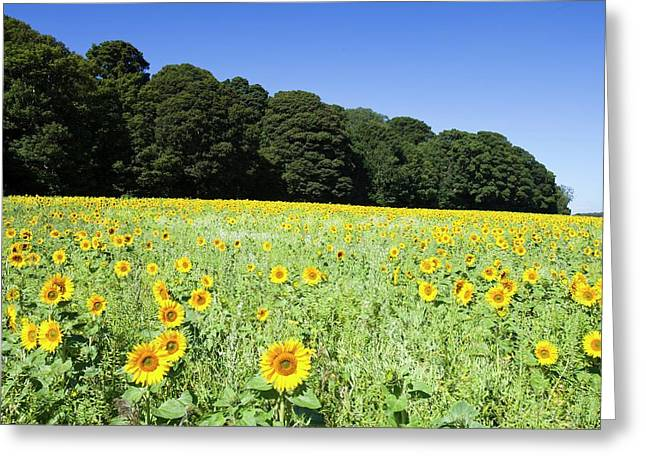 Field Of Sunflowers Greeting Card by Ashley Cooper