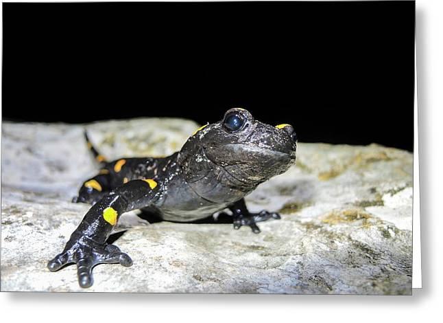 Fire Salamander (salamandra Salamandra) Greeting Card by Photostock-israel
