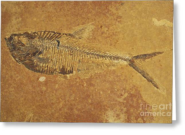 Bony Fish Greeting Cards - Fish Fossil Greeting Card by Scott Camazine