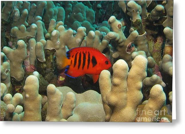 Recently Sold -  - Underwater Photos Greeting Cards - Flame Angel profile Greeting Card by William Miller