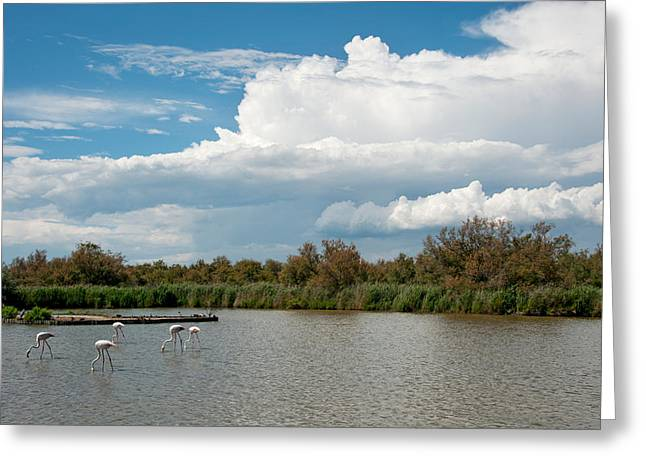 Aquatic Bird Greeting Cards - Flamingos In A Lake, Parc Greeting Card by Panoramic Images