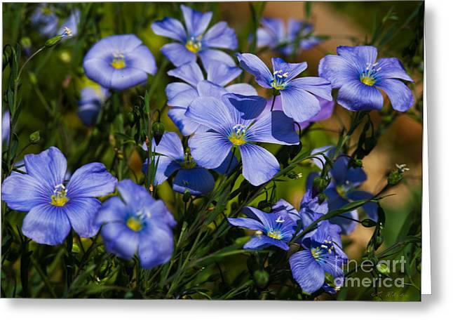 Commercial Photography Greeting Cards - Flax Linum usitatissimum Greeting Card by Iris Richardson
