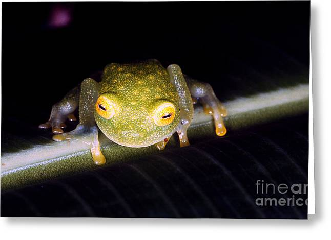 Anuran Greeting Cards - Fleischmanns Glass Frog Greeting Card by Gregory G. Dimijian