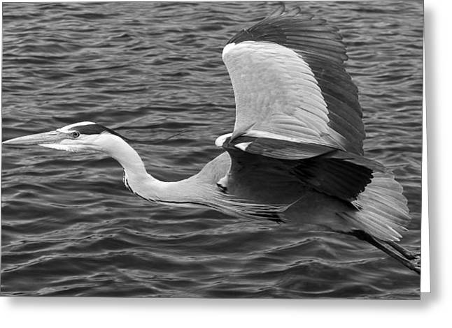Grey Heron Greeting Cards - Flight of the Grey Heron Greeting Card by Mountain Dreams