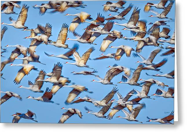 Flight of the Sandhill Cranes Greeting Card by Steven Llorca